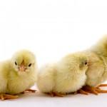 Wyandotte chicks